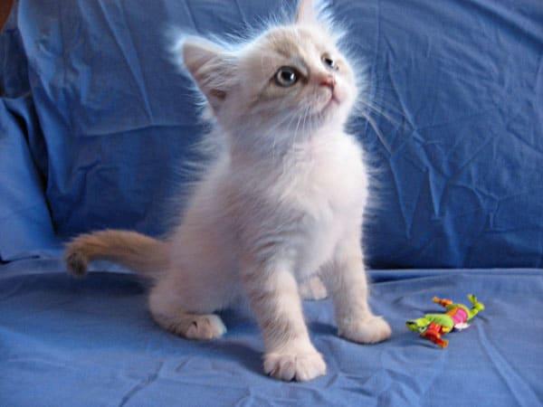 Female Siberian Kitten Catia at 7 weeks old