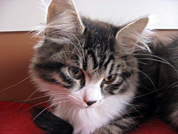 Female Siberian kitten Crissa at 13 weeks old