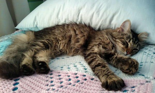 Female Siberian kitten Sasha
