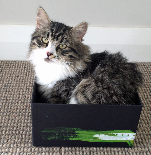 Siberian kitten Tinkerbell tries on a box, age 6 mo, 5 Oct 2013