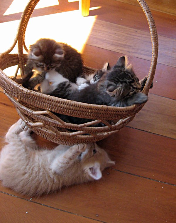 Siberian kittens playing with a basket
