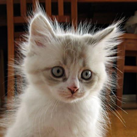 Female bluepoint Siberian kitten Catia