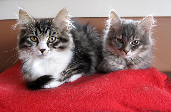Female Siberian kittens Crissa (left) and Caci at 13 weeks old.