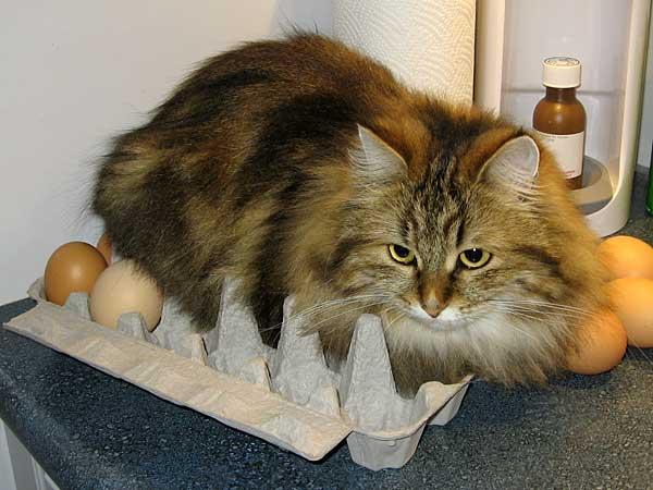 Siberian cat Cecilia sitting on eggs