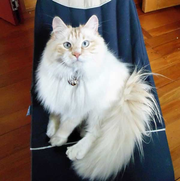 Male Siberian flamepoint kitten Baxter (Caesar)