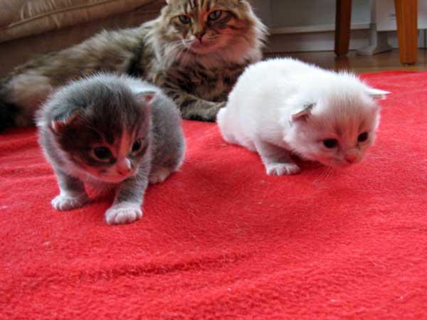 Siberian kittens Dougal and Daphne