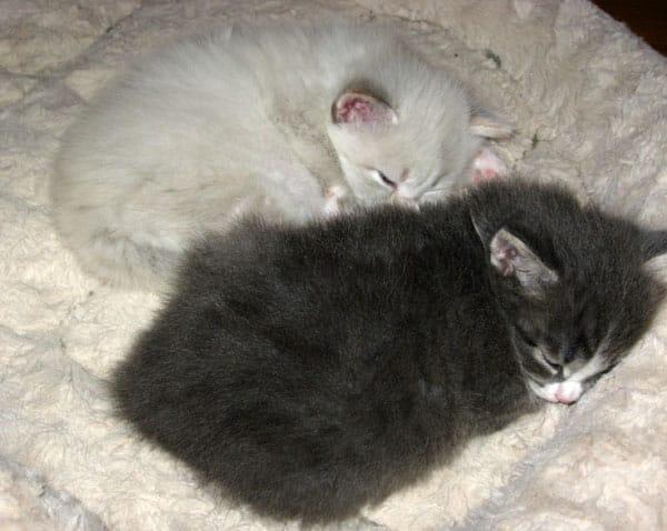 Siberian kittens Daphne and Dougal