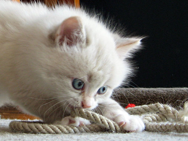 5-week-old Siberian kitten Daphne plays with a bit of rope