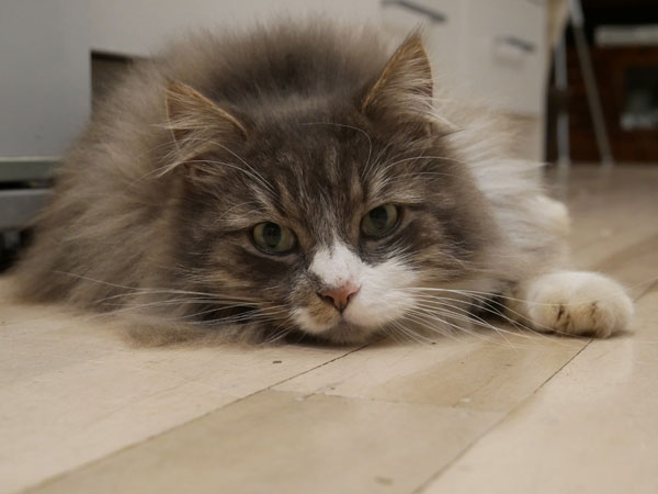 Siberian cat Farley at 2 years old