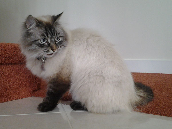 Siberian cat Bella (ex Freya) on her 3rd birthday