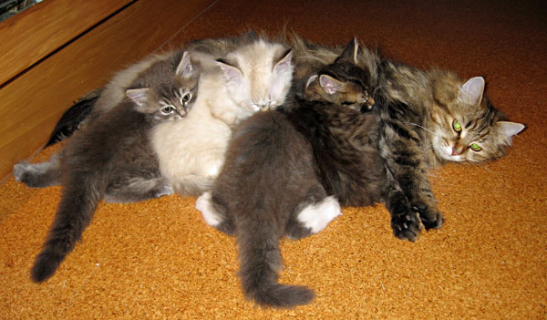 The 8-week-old F Litter Siberian kittens still love being with mum