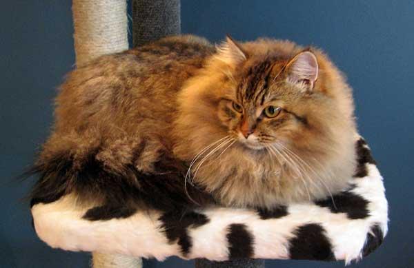 Siberian kitten Felix