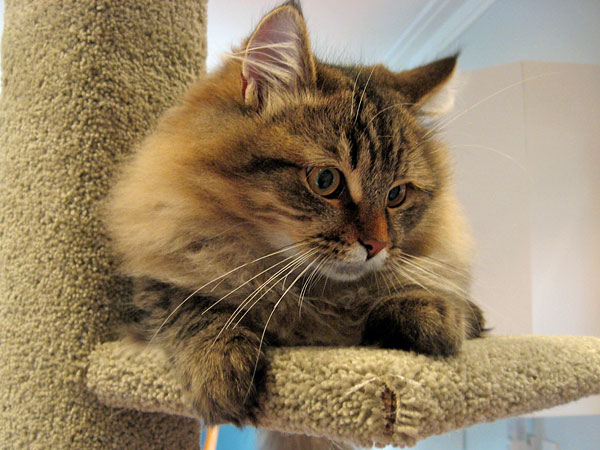 Felix tries out the latest 2-metre tall Super Scratcher Deluxe climbing post fresh out of the Seacliffe Siberians workshop. 6 June 2014