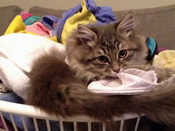 Siberian kitten George helps with the laundry. 12 May 2014