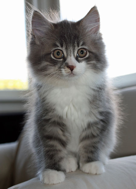 11-week-old Siberian kitten Farley, 17 March 2014