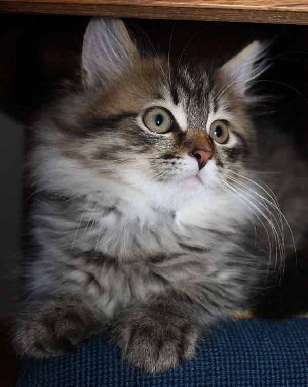11-week-old Siberian kitten Felix in a favourite spot - on a dining room chair