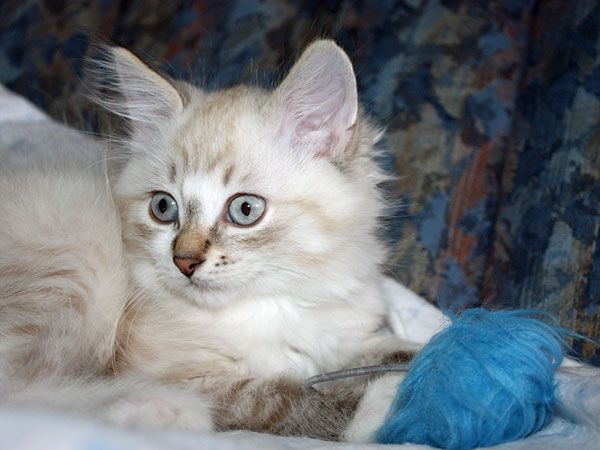 11-week-old male Siberian kitten Foster with toy ball