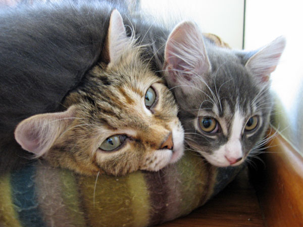 Siberian kitten Dougal at 12 1/2 weeks old, with his mother Calina