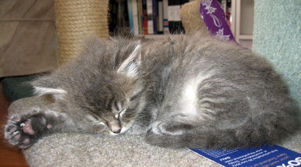 5-week-old Siberian kitten Fitzy