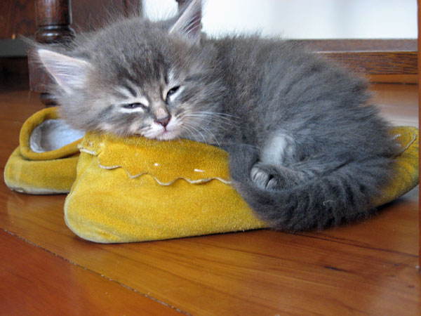 6-week-old Siberian kitten Fitzy sleeps on Judee's moccasin