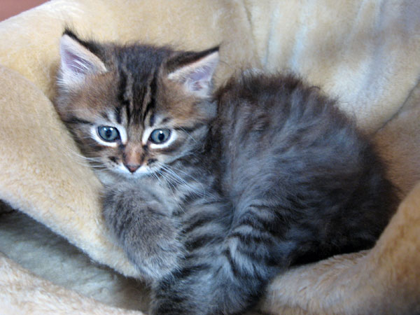 6-week-old black tabby Siberian kitten Felix