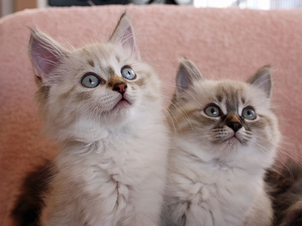 Siberian kittens Foster and Freya at nine weeks old