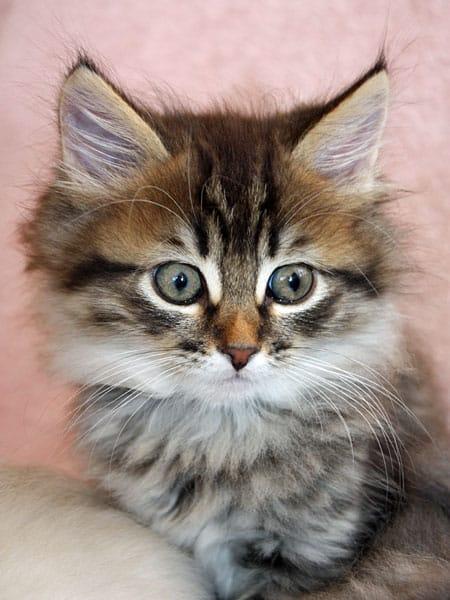Siberian kitten Felix at 9 weeks old