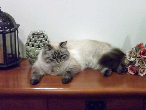Siberian cat Bella (ex Freya), 16 Sept 2014