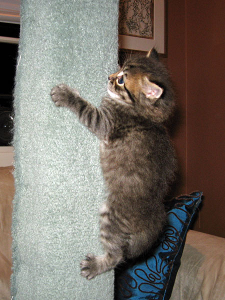 Male black tabby Siberian kitten Felix ascends the scratching post at one month old