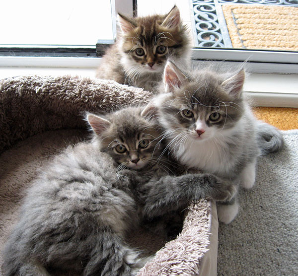 Top to bottom: Felix, Farley and Fitzy at 8 weeks old