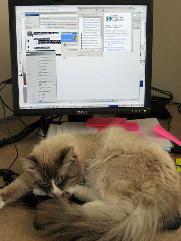 Male Siberian cat Harley attempts to reboot Judee's computer - by pushing all the keys.
