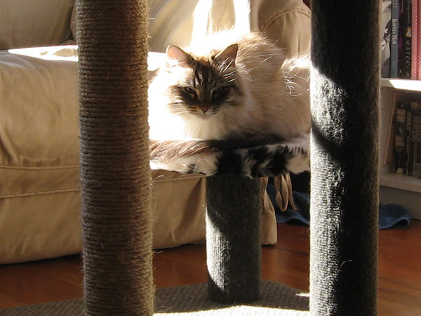 Siberian cat Mari on scratching post