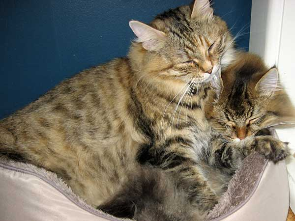 Siberian cat Calina inflicts a little grooming on kitten Felix, 19 July 2014