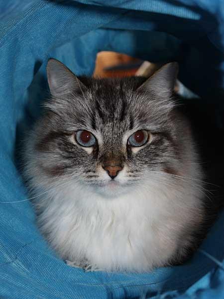 Siberian cat Mari
