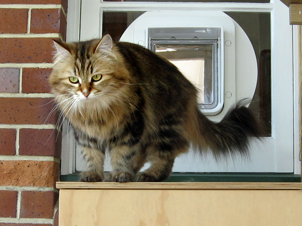 Siberian cat Cecilia enters Harley's outdoor run via an electronic cat door