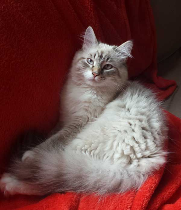 Bluepoint Siberian Gustav at 7 months old