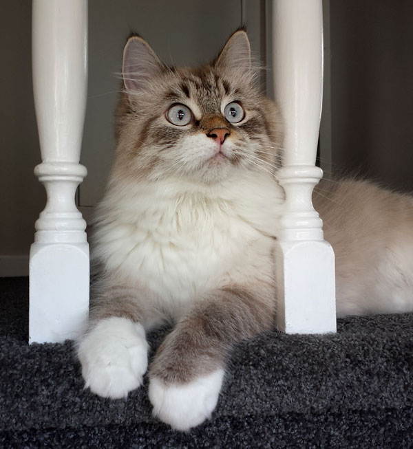 Siberian cat Gus at one year old