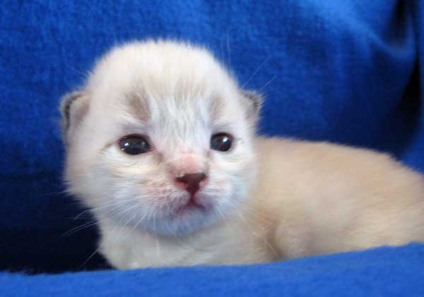 Male Siberian kitten Georgey at 2 weeks old