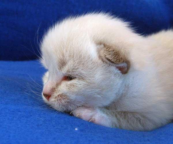 Male Siberian kitten Gustav (Gus) at 13 days old