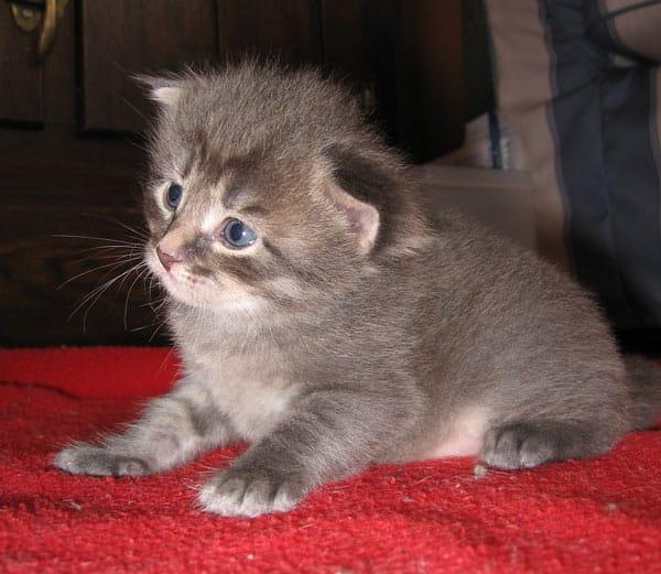 Female Siberian kitten Gracie at 3 weeks old