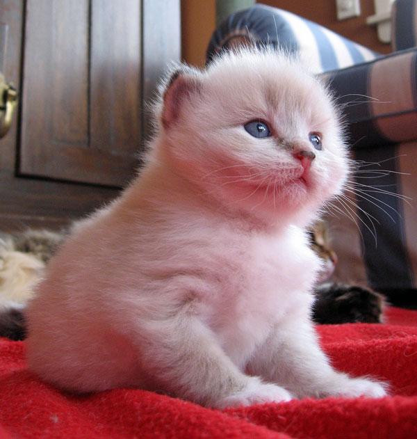 Female Siberian kitten Gustav at 3 weeks old