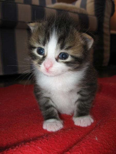 Female Siberian kitten Gabby at 3 weeks old