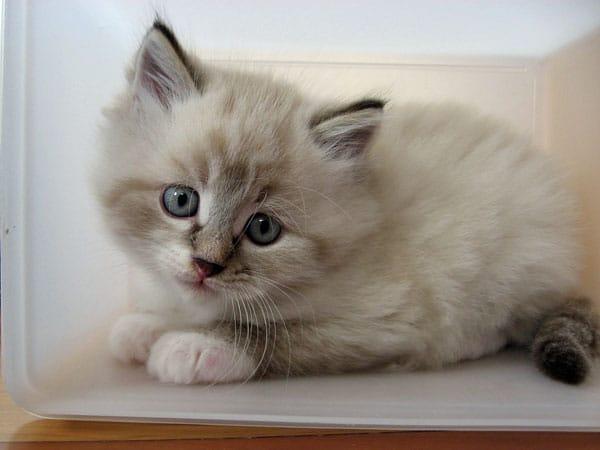Siberian kitten Gustav at 6 weeks old
