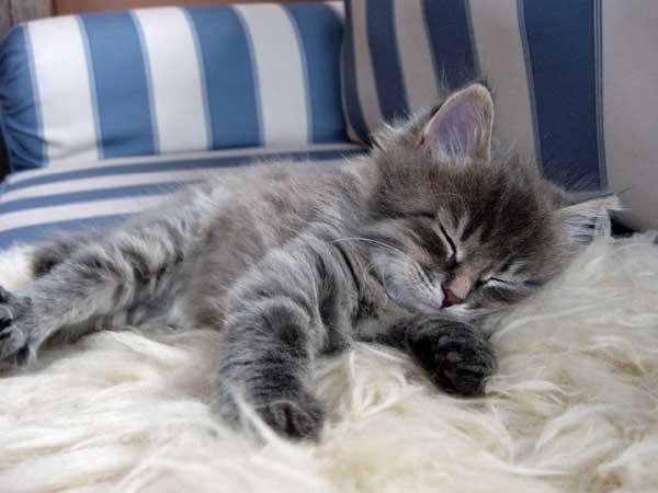 Siberian kitten Gracie at 6 weeks old
