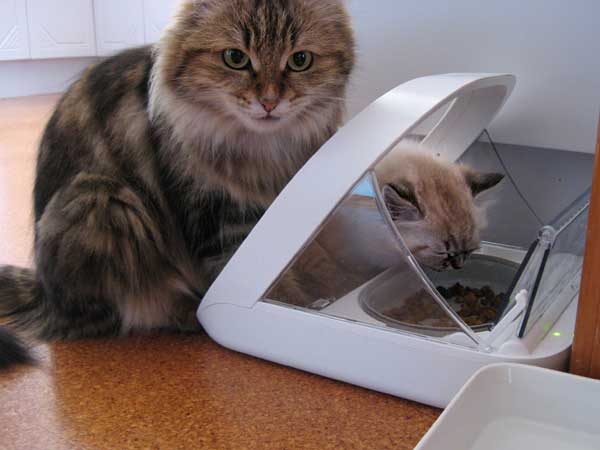 Siberian cat Cecilia (Cici) lets her son Georgey each from the microchip ct feeder