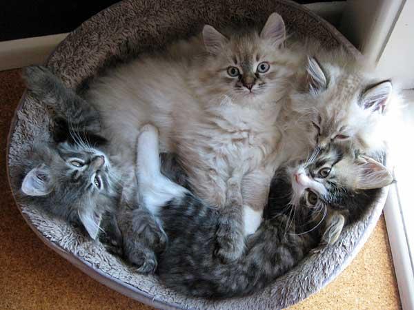 G Litter Siberian kittens at 10 weeks old, 15 June 2015