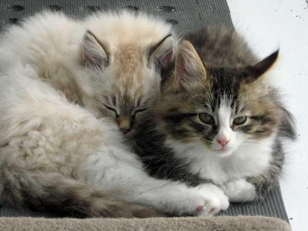 Siberian kittens Gus and Gabby