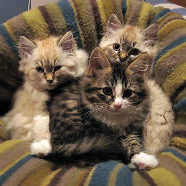 12-week-old Siberian kittens Gustav, Gabby and Georgey