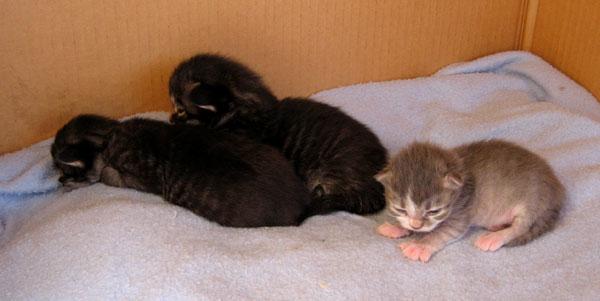 H Litter Siberian kittens at 11 days old