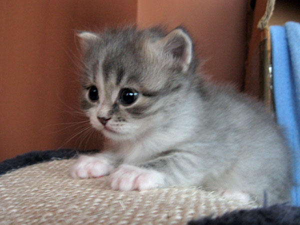 Siberian kitten Hollie at 25 days old